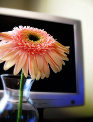 Computer screen and pink flower